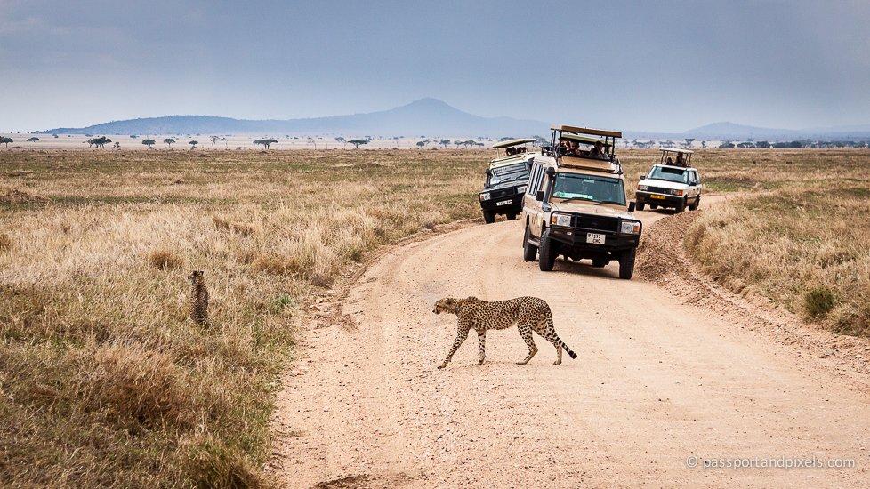 Cheetahs, Tanzania Safari