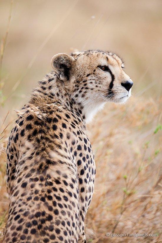 Cheetah, Tanzania Safari