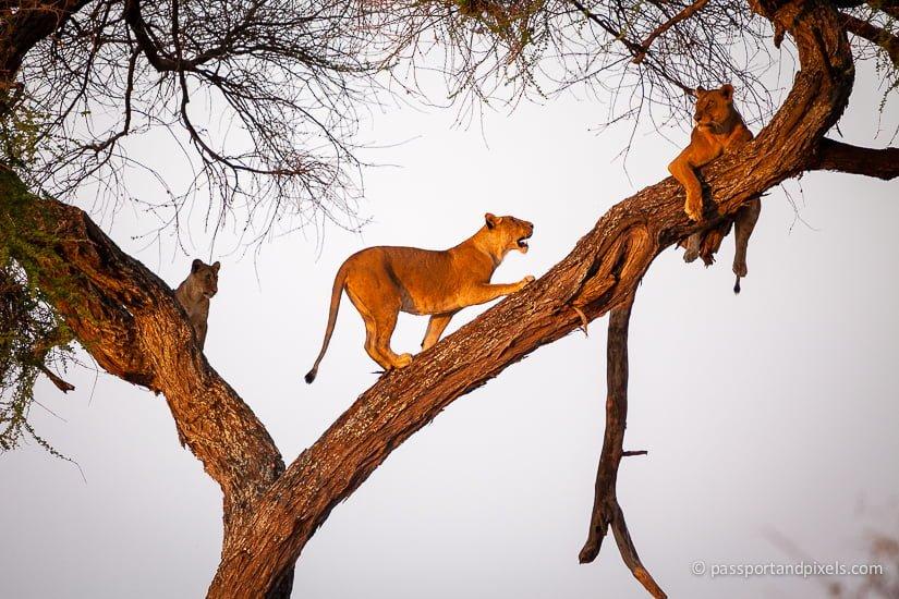 Lions on safari in Tanzania