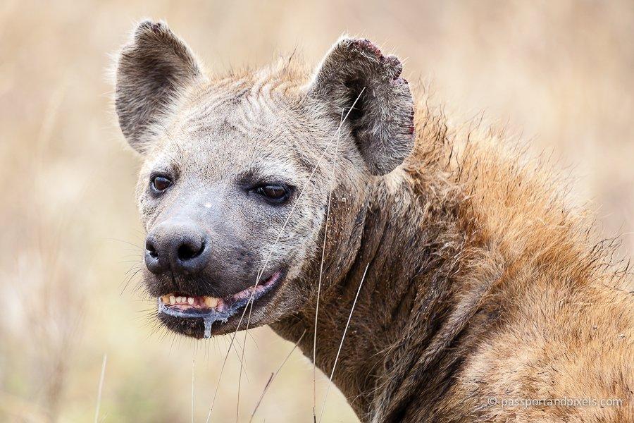 Hyena, Serengeti, Tanzania