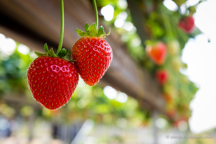 Strawberry farming Canterbury Kent