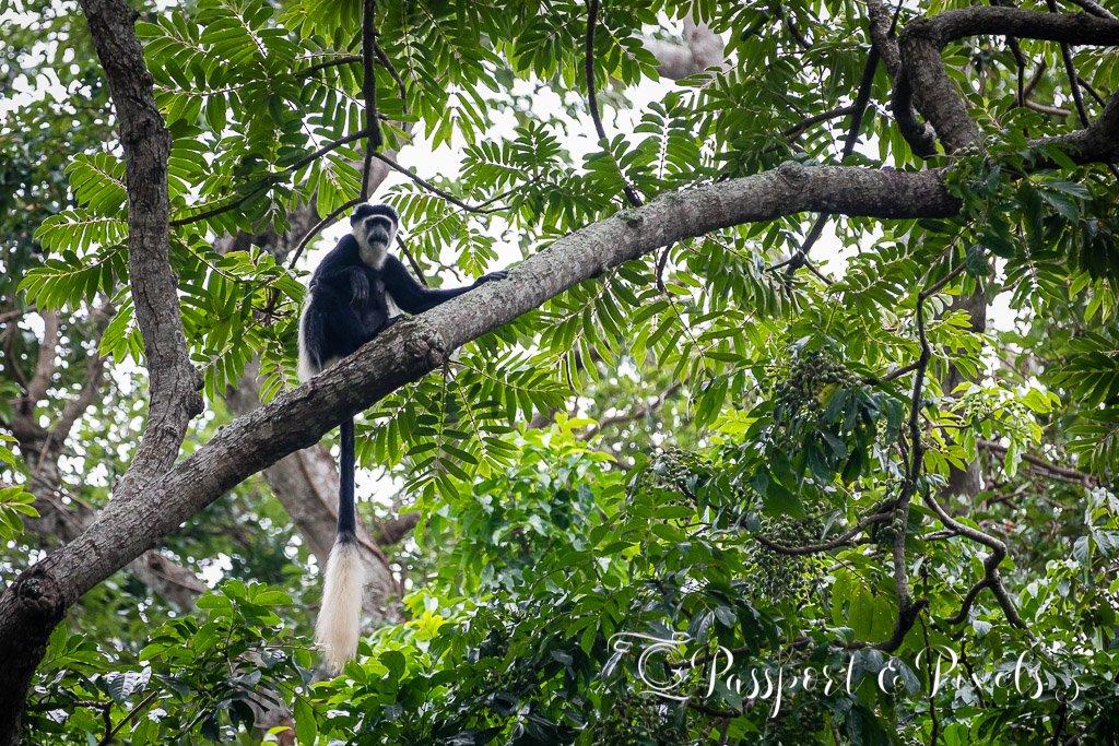 A colobus monkey
