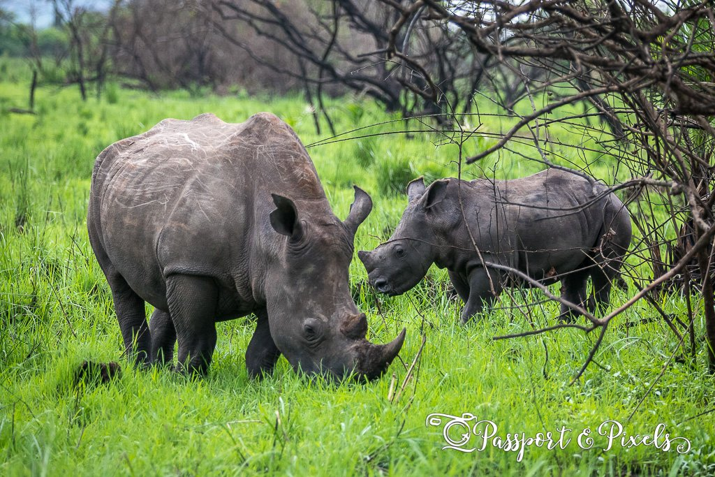Photographing wildlife: rhinos in Uganda