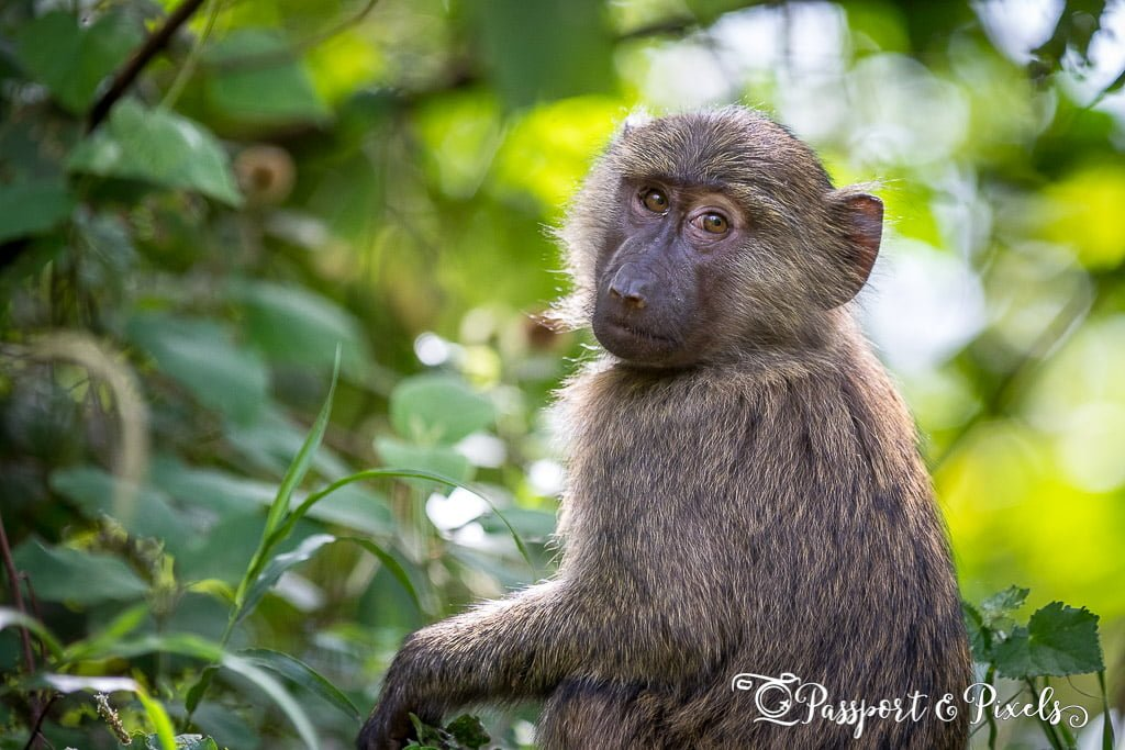 A baby baboon looks curiously at the camera in Bwindi Impenetrable Forest, Uganda