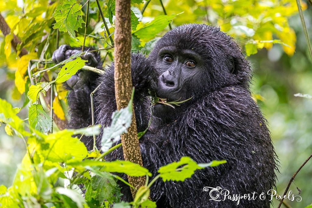 A young mountain gorilla in rainy season