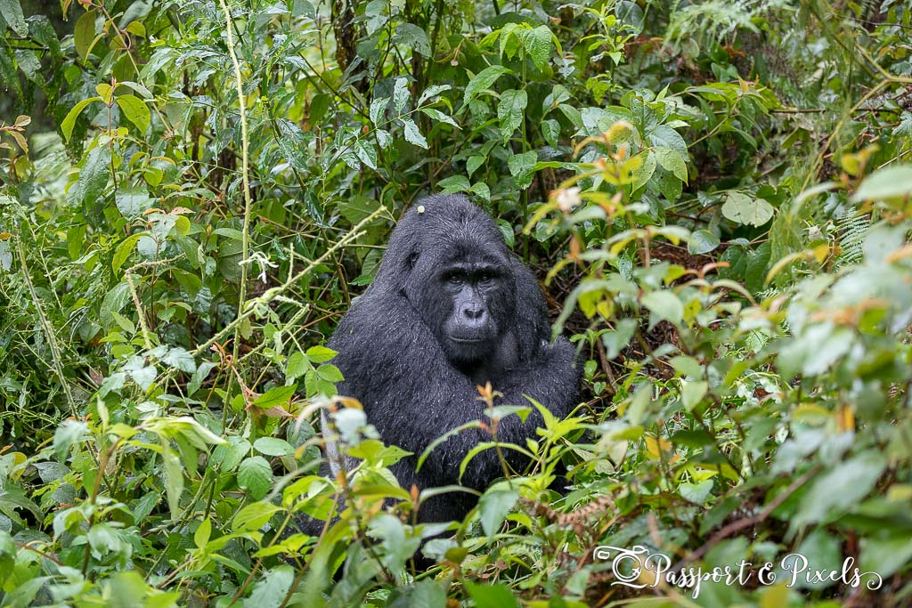 A silverback gorilla in Bwindi Impenetrable forest