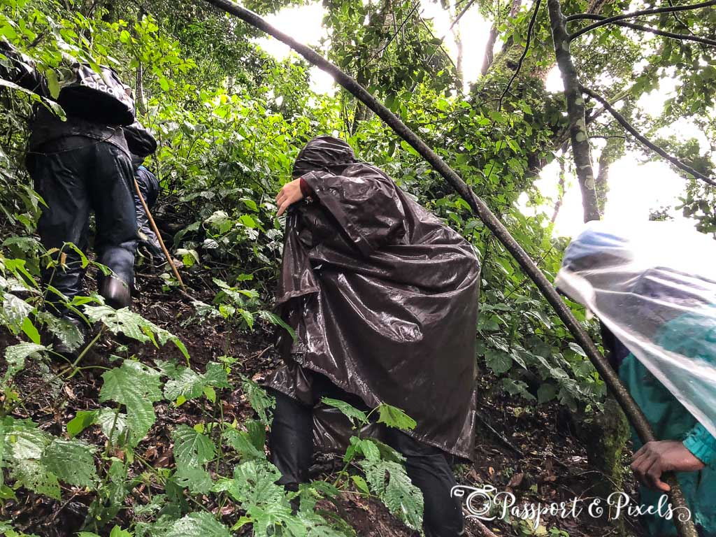 Gorilla trekking in rainy season
