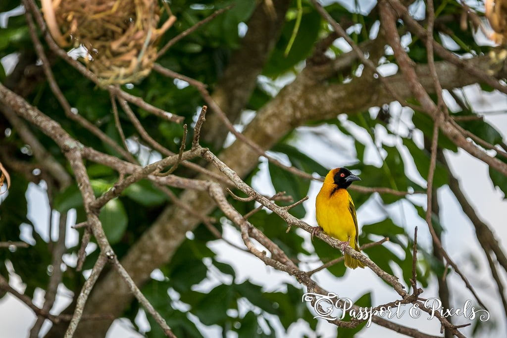 Black-headed weaver bird