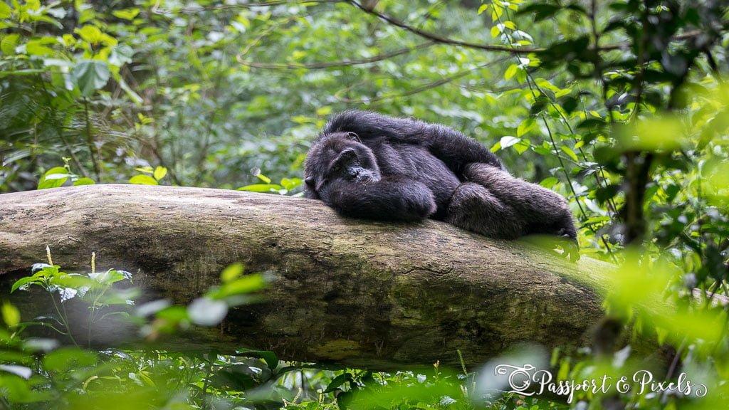Male chimpanzee on a trekking experience in Kibale, Uganda