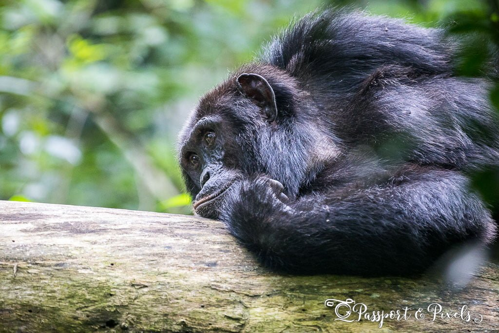 Male chimpanzee on a branch, Uganda