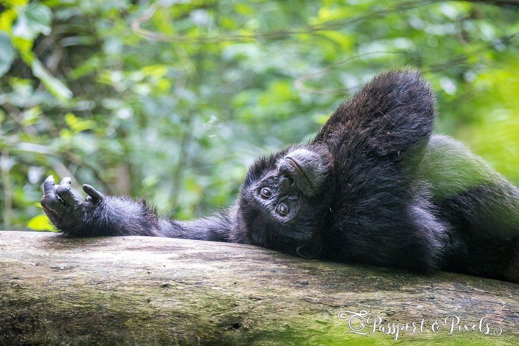 Chimpanzee trekking, Kibale Uganda