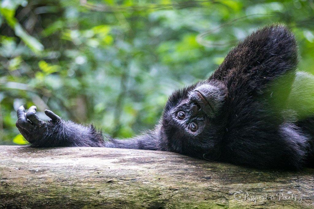 Chimpanzee trekking Kibale Uganda
