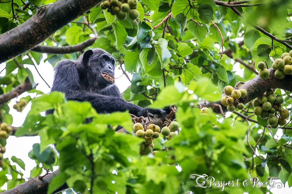 A chimpanzee high up in the trees eating fruit