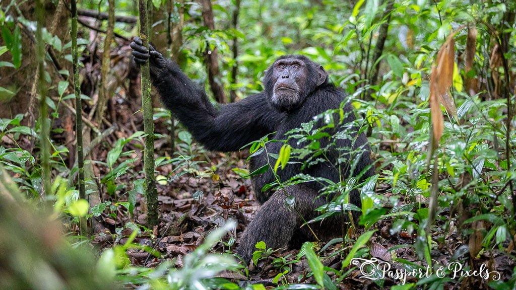 Chimpanzee, Kibale, Uganda