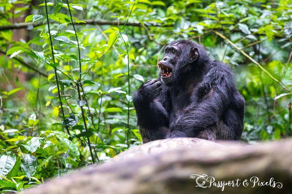 Chimpanzee Trekking, Kibale, Uganda