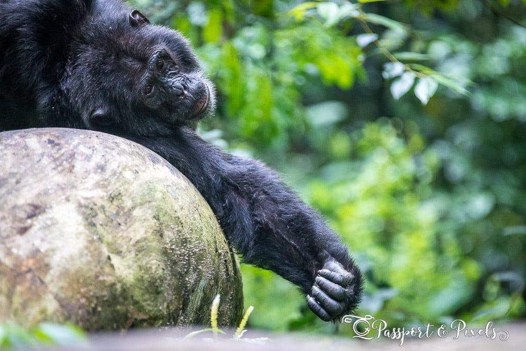 Ssebo the chimpanzee