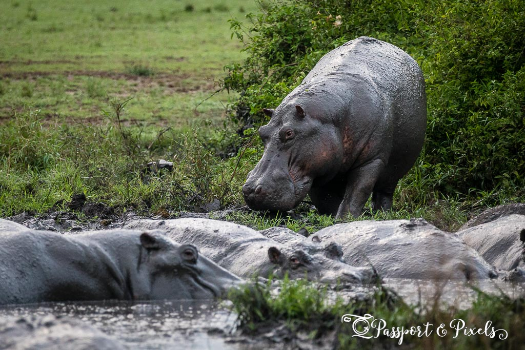 Hippos in a mud hole in Queen Elizabeth Park, Uganda