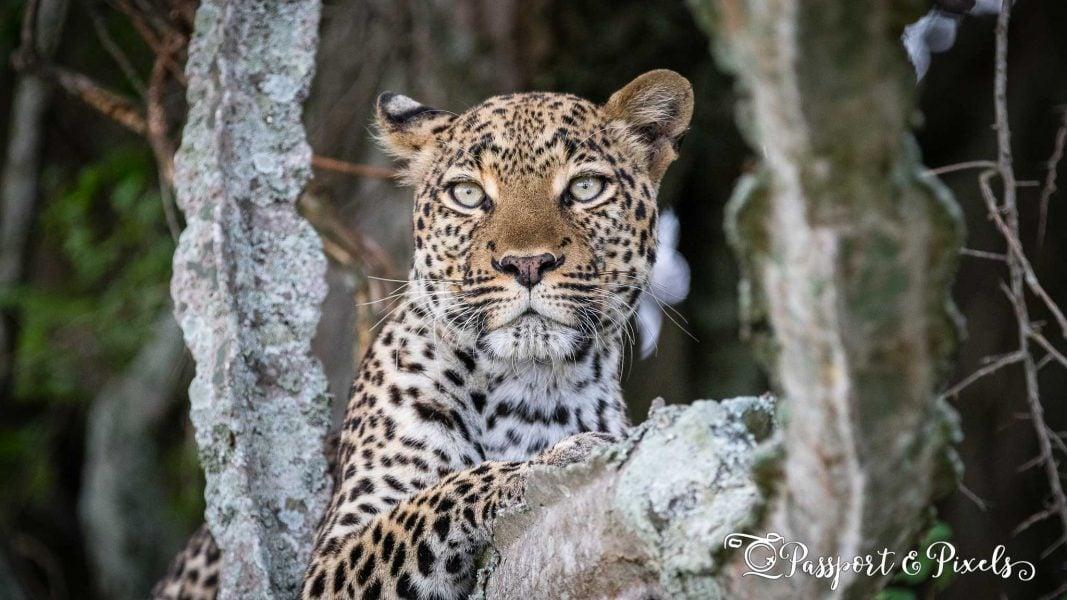 Uganda wildlife: leopard