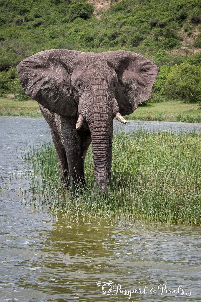Elephant on the Kazinga Channel, Uganda