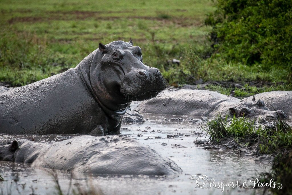 Hippo in a mud hole in Queen Elizabeth Park, Uganda