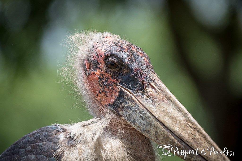 Marabou Stork, Uganda