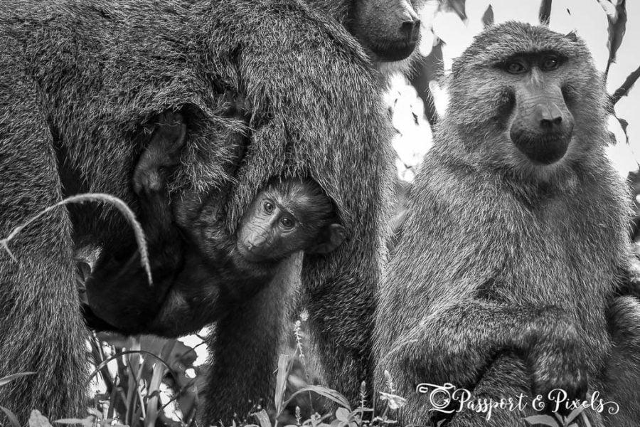 Baboon family, Uganda