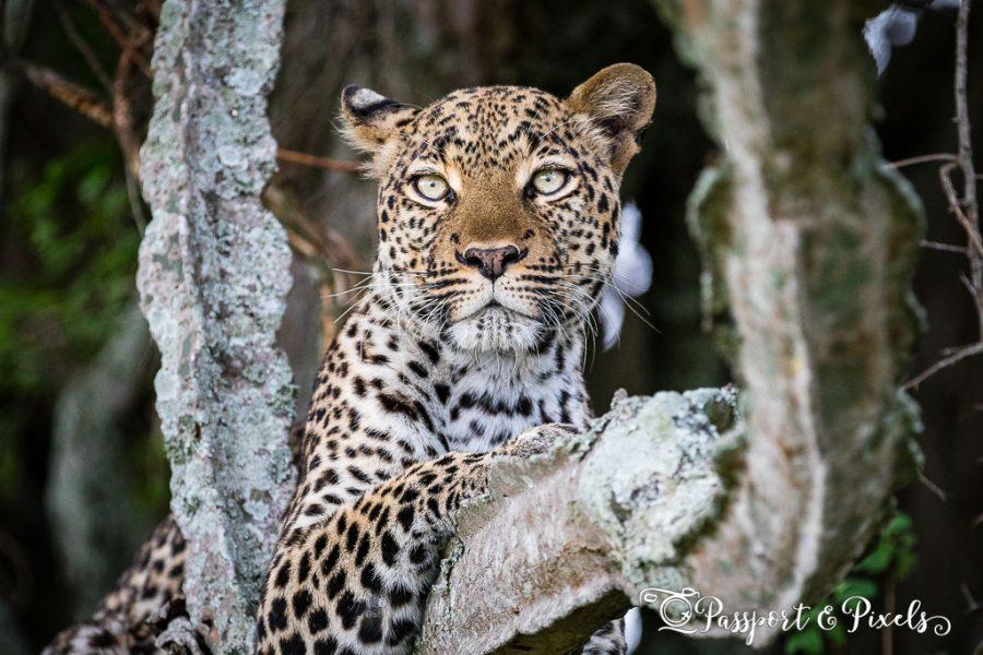 Leopard, Uganda