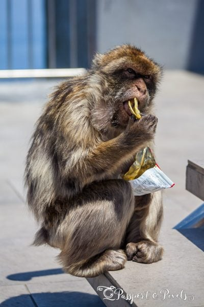 Wildlife photography tip for beginners: Barbary ape, Gibraltar