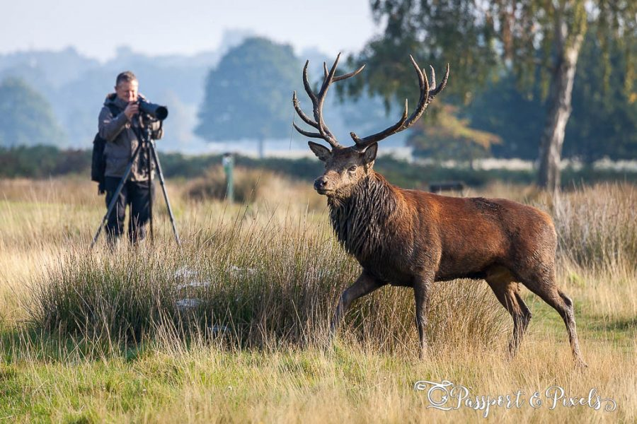 Photographing wildlife: stag in Richmond park
