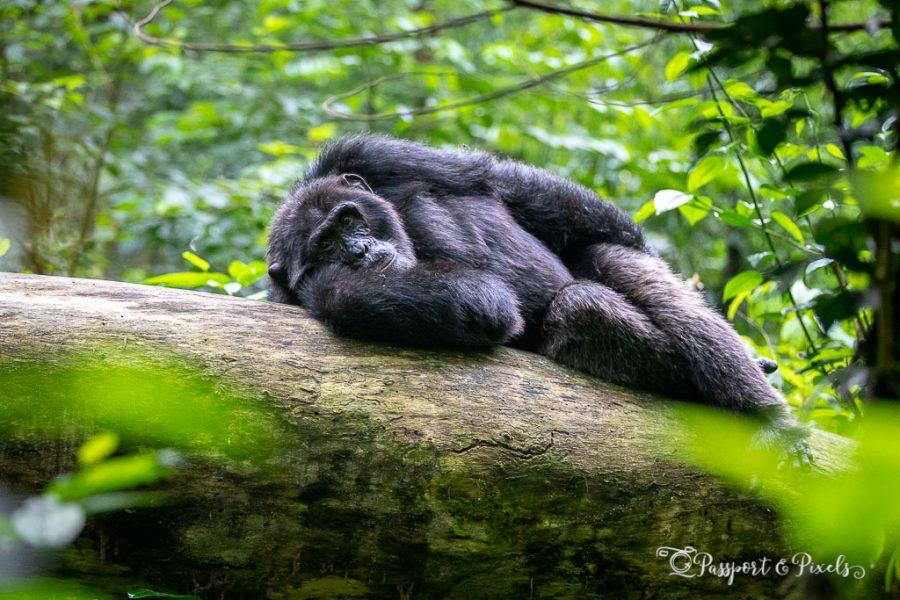 Chimpanzee trekking, Uganda