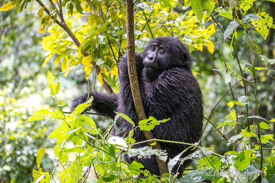 Young gorilla, Bwindi Impenetrable Forest