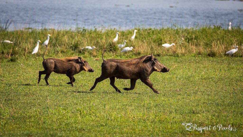 Warthogs, Uganda
