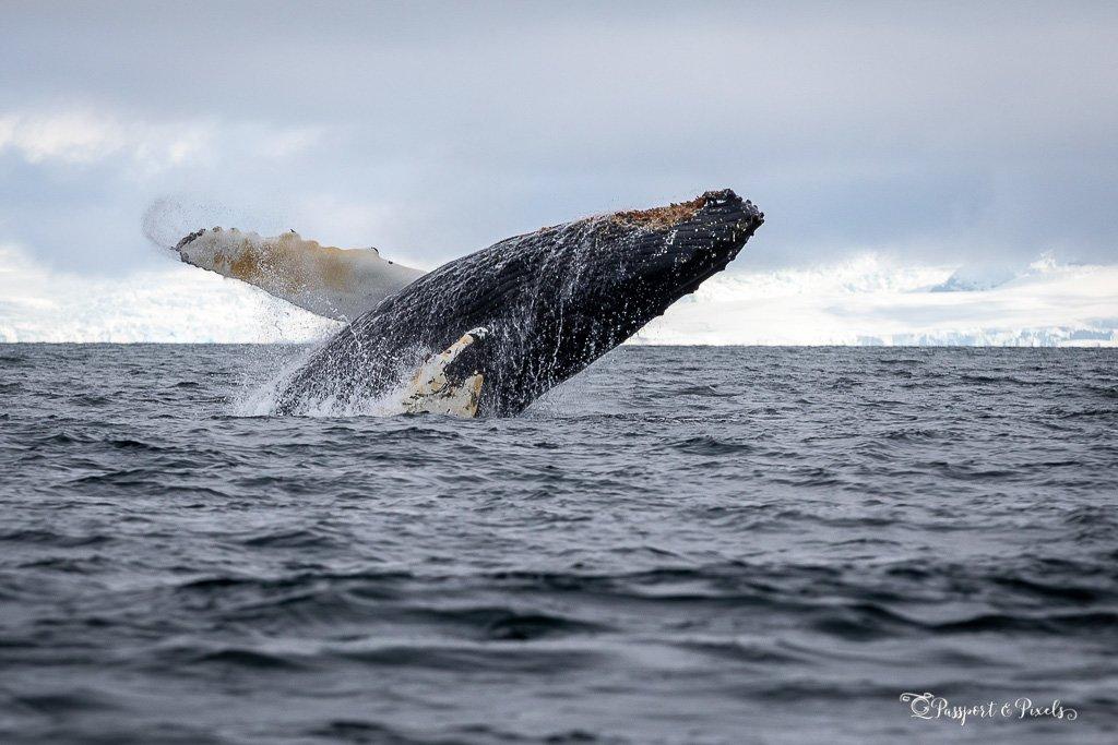 A humpback whale breaches, Antarctica