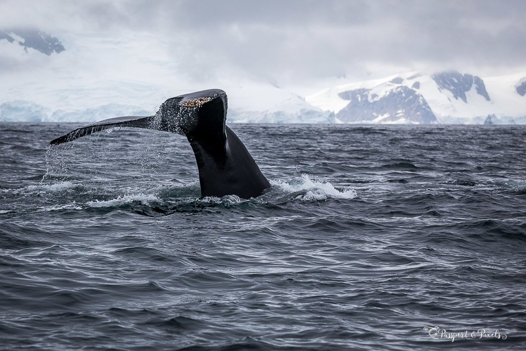 A humpback whale dives, Scotia Bay, Antarctica