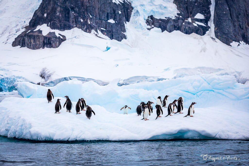Gentoo Penguins on an ice floe, Antarctica