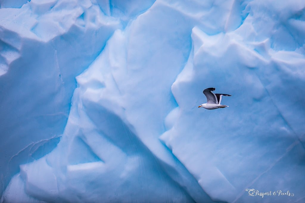 Kelp gull in front of an iceberg, Antarctica