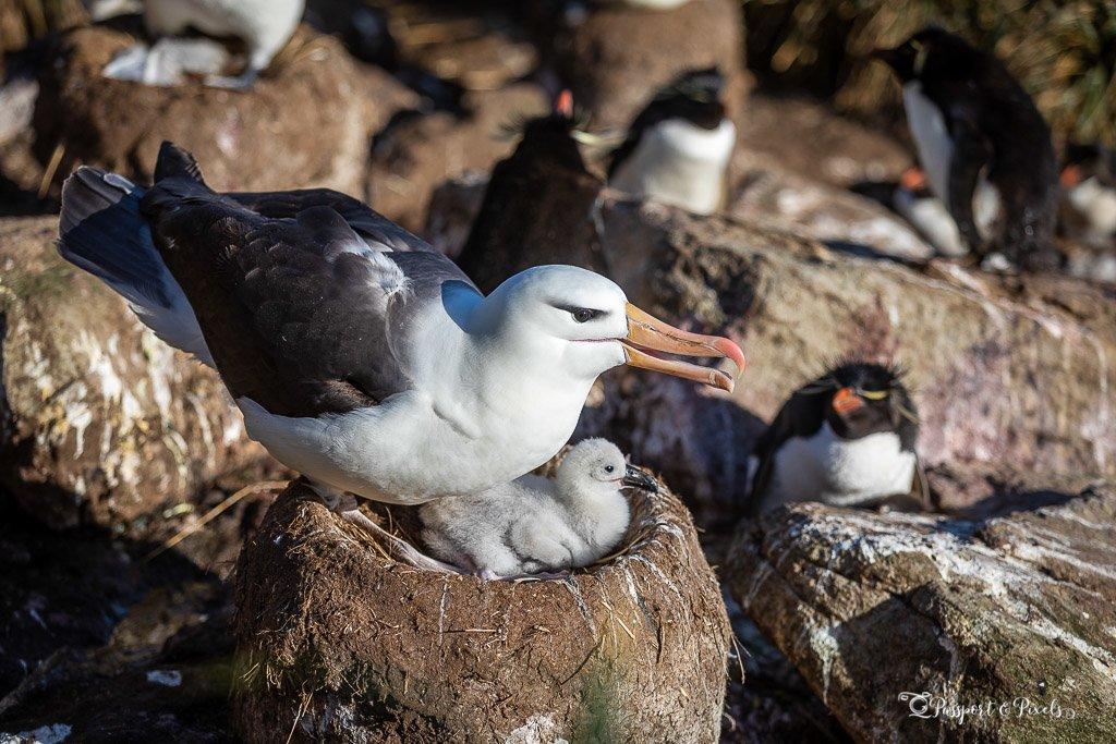Albatross nest with chick, Falkland Islands