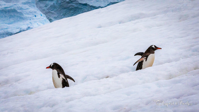 Gentoo penguins on a penguin highway in Antarctica
