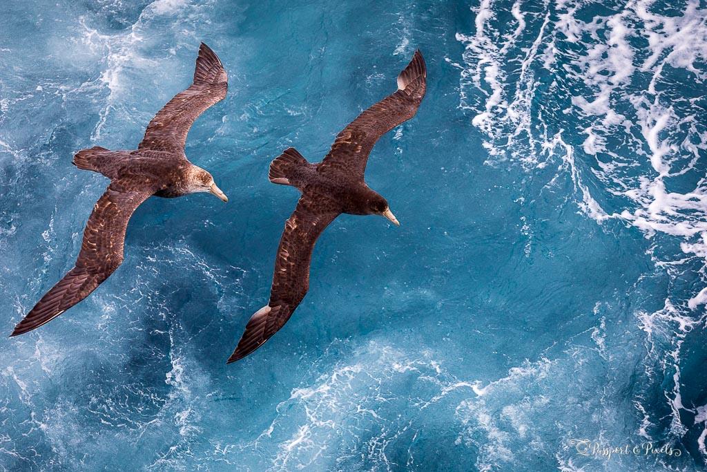 Southern giant petrels, Antarctica