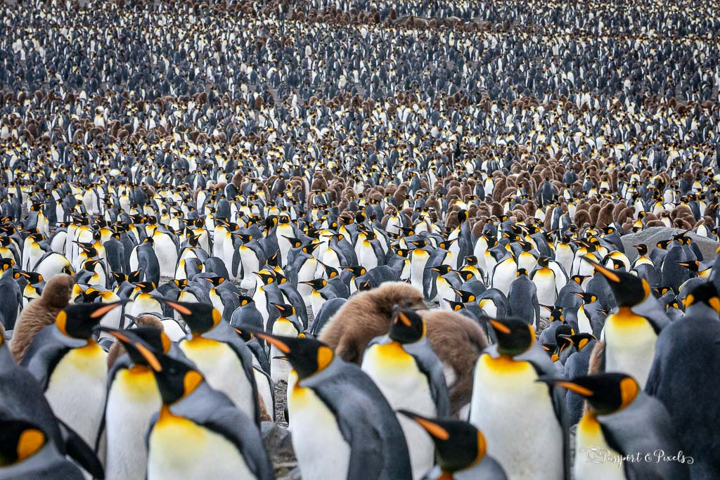 A huge colony of nearly half a million king penguins at St Andrew's Bay, South Georgia