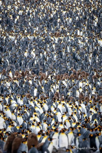 King Penguin colony, St Andrews Bay, South Georgia