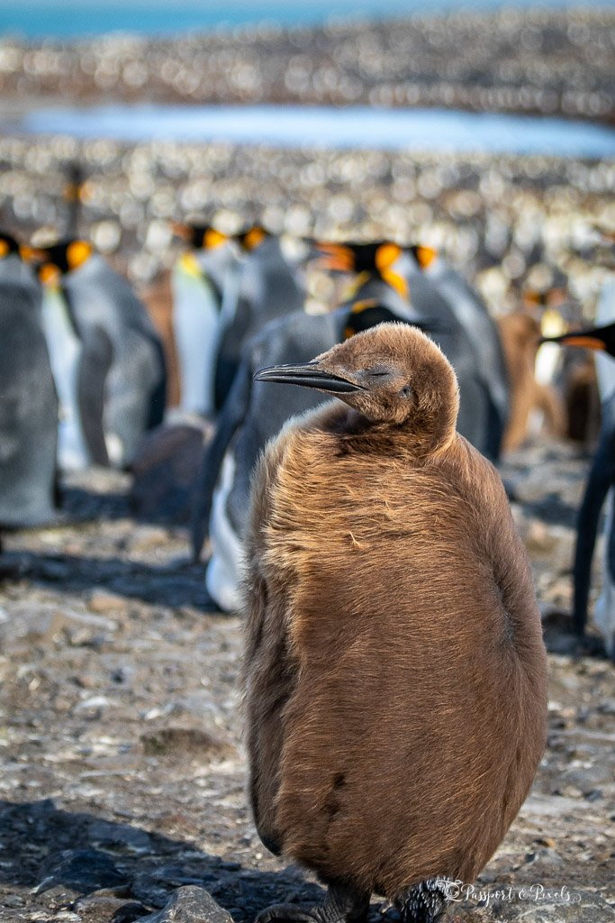 A fluffy brown king penguin chick in the wind, South Georgia