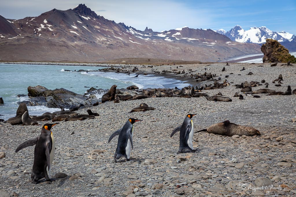 Fur seals and king penguins at Fortuna Bay South Georgia