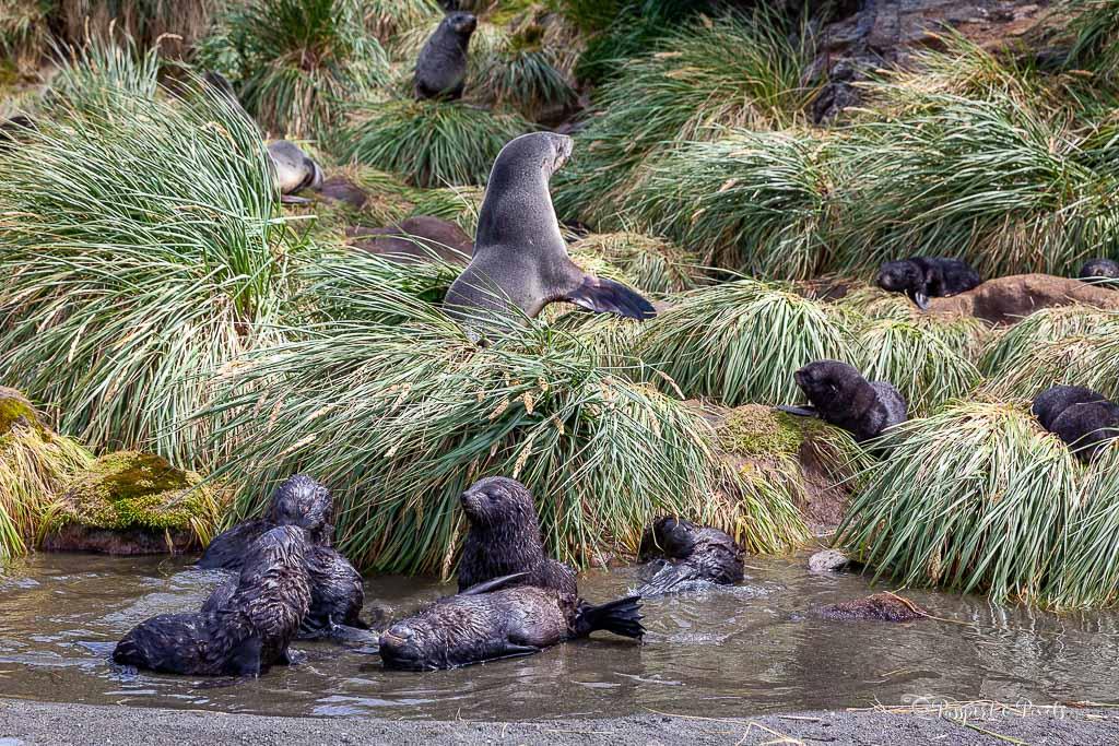 Fur seal pups, Fortuna Bay, South Georgia