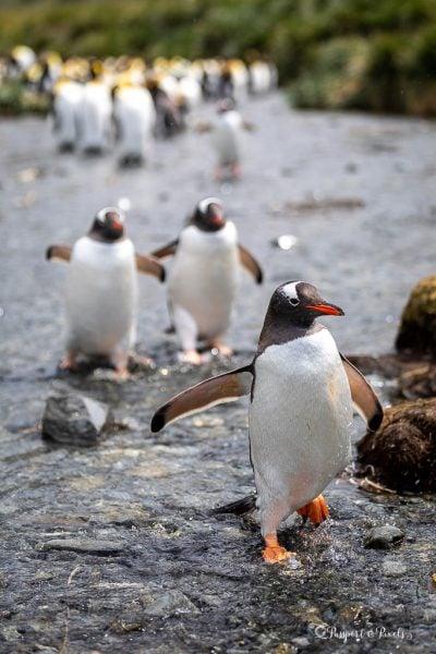 Gentoo Penguins, Gold Harbour