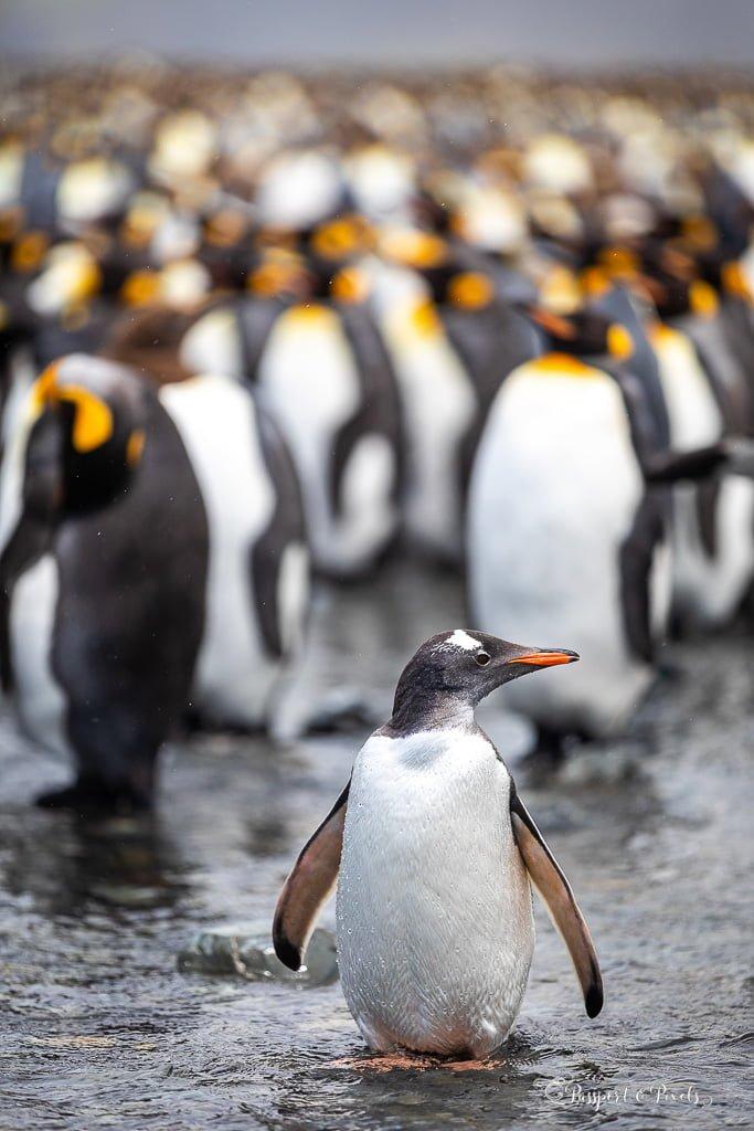 Gentoo penguin amongst kings in South Georgia