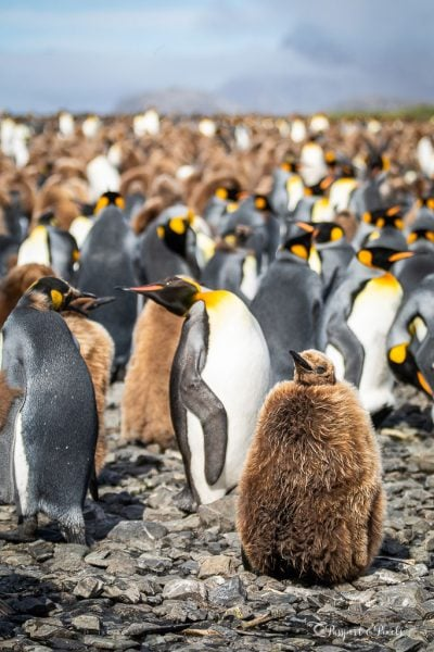 King penguin colony with adults and chicks