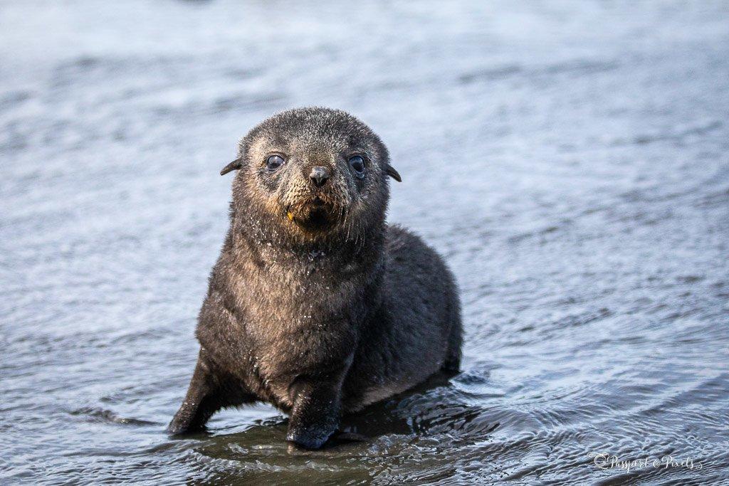 South Georgia wildlife: fur seal pup on Salisbury Plain