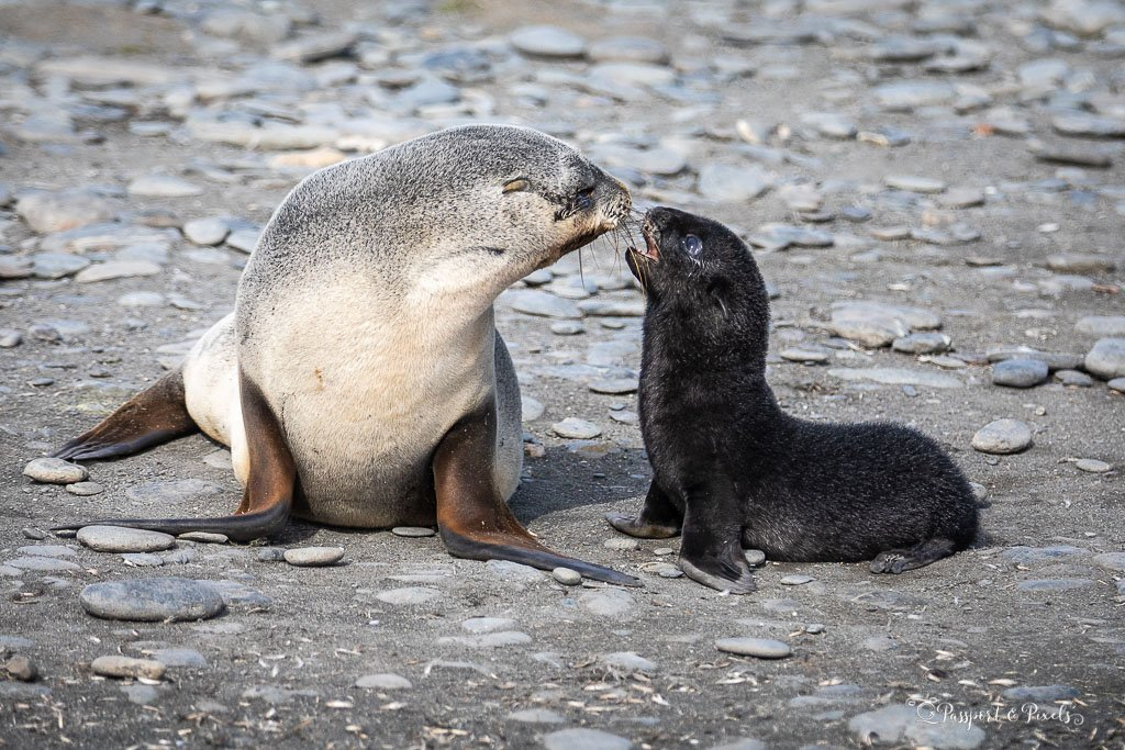 Mother and baby fur seal, Salisbury Plain, South Georgia