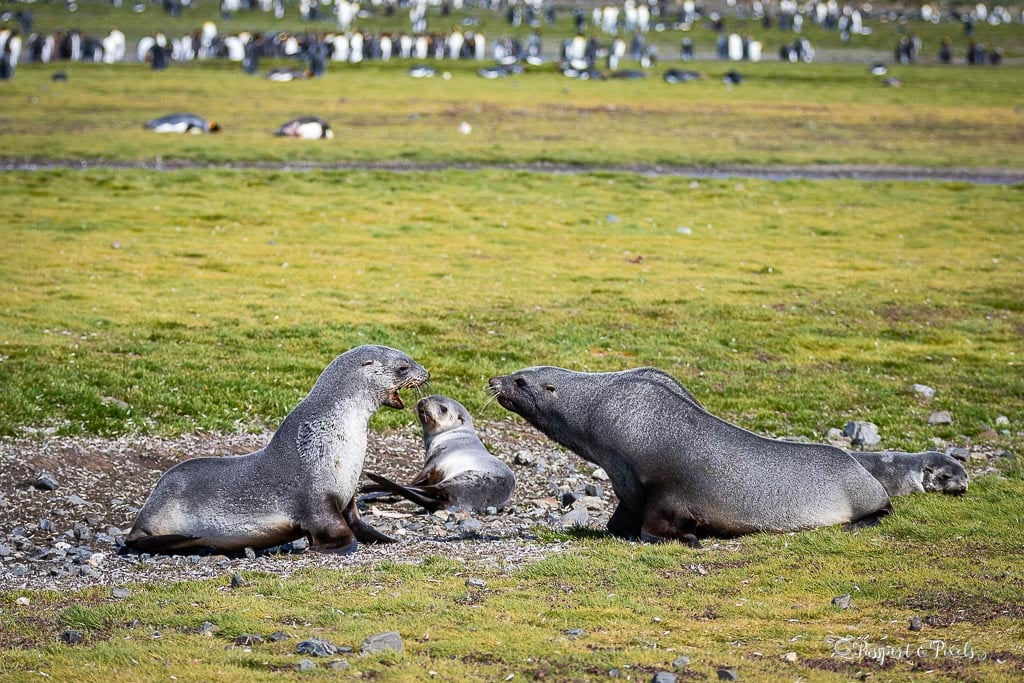 Fur seals fighting, Salisbury Plain